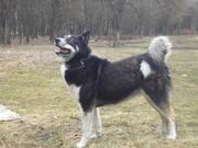 Продам щенка западносибирской лайки